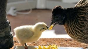 鶏の餌付け